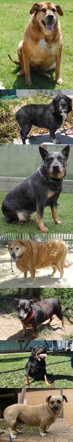 Obese Dogs